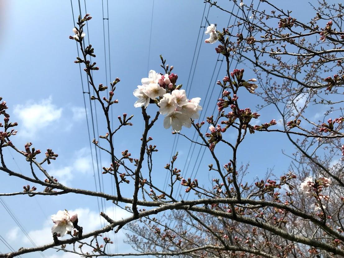 北五井緑道の桜のつぼみ