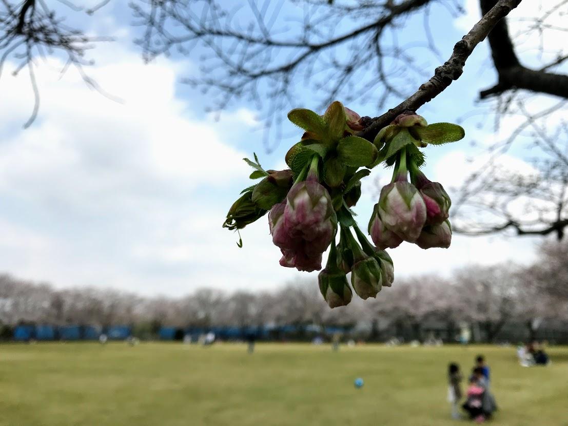 農業センター桜のつぼみ