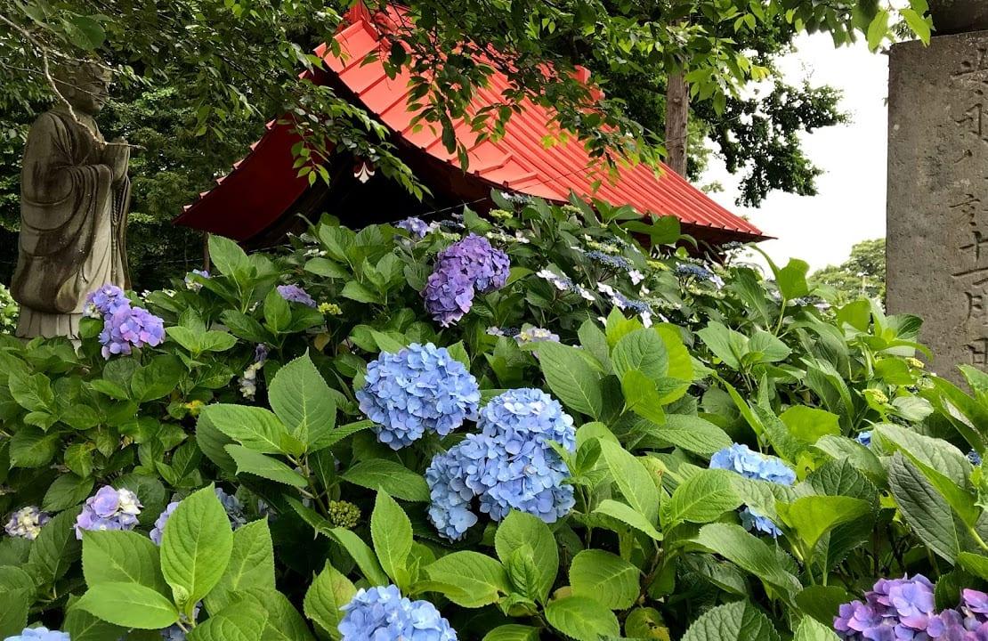 光徳寺山門と紫陽花
